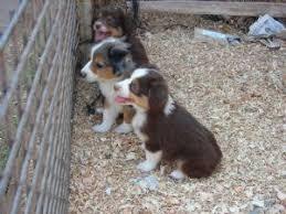 australian shepherd puppies for sale miniature australian shepherd puppies in california