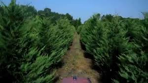 leyland cypress christmas trees our best crop ever youtube