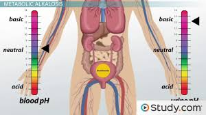Kidney Anatomy And Physiology Video Gross Anatomy Of The Urinary System Video U0026 Lesson Transcript