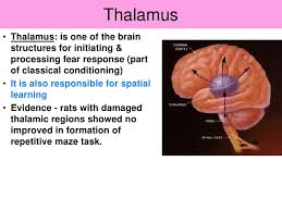 Thalamus Part Of The Brain Vce U4 Psychology Brain Mechanisms Involved In Learning