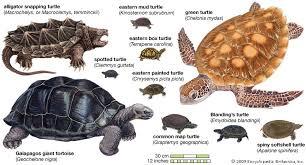turtle reptile britannica com