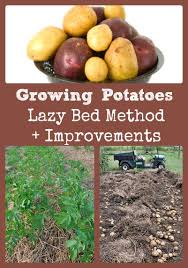 Potato Planter Box by Growing Potatoes Lazy Bed Method Improvements
