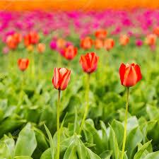 Tulip Field Tulip Field Bud Holland Flower Valentine Flower Gardening Love