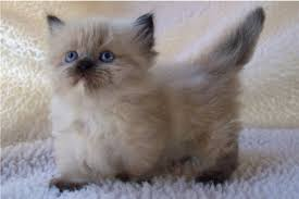 Munchkin Pet Gate These Munchkin Cats Might Be The Cutest Animals You U0027ll Ever See