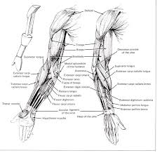 Full Body Muscle Anatomy Best 25 Arm Muscle Anatomy Ideas Only On Pinterest Muscles Of