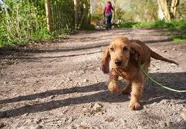 imagenes de english cocker spaniel english cocker spaniel puppies for sale akc puppyfinder