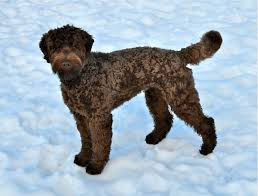 doodle doo labradoodles berkshire great doodle cut countdown to my own