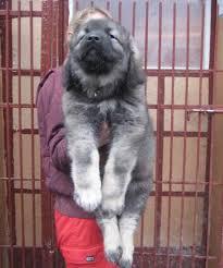 affenpinscher a vendre quebec berger du caucase ovtcharka du caucase les avis et les photos