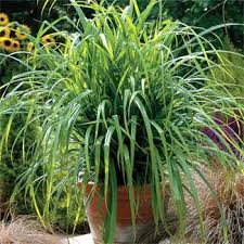 carex seed drooping sedge ornamental grass seed