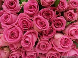 Meaning Of Pink Pink Roses Wallpapers Pink Roses Pc Backgrounds 48 623vt