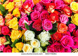 colorful roses colorful roses stock photo 585770084