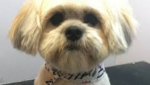 how to cut a shichon s hair how often should you take your shih tzu to get groomed