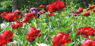 peony care tree herbaceous intersectional