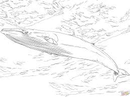 minke whale coloring page free printable coloring pages