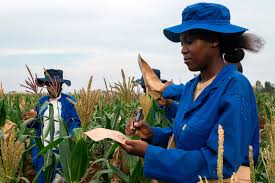 zimbabwe crop farmers banking on science the japan times