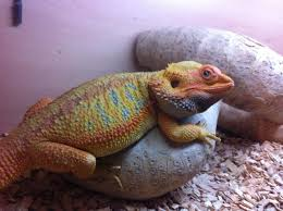 red citrus hypo firetiger baby bearded dragons cannock
