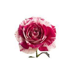 multi colored roses harlequin and white bi color multi colored roses