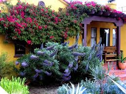 purple trumpet vine landscape mediterranean with terra cotta tile