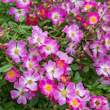 Fragrant Rose Plants Scented Carpet Repeat Flowering Popular Searches