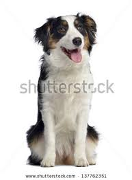 3 month australian shepherd australian shepherd stock images royalty free images u0026 vectors