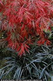 best 25 japanese maple garden ideas on acer acer
