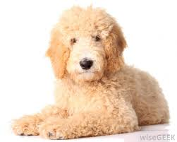 how to cut a goldendoodles hair what are the best tips for grooming a goldendoodle