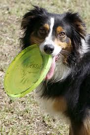 australian shepherd frisbee dallas dog u0026 disc club