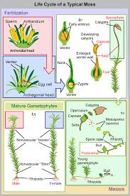 bryophytes boundless biology