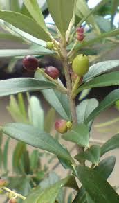 your olives east of plants guide to olive trees