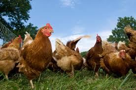 toronto to allow raising of backyard chickens in some