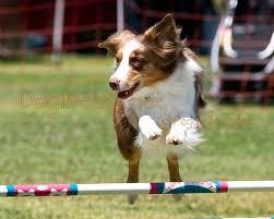 australian shepherd agility dogbreedz photo keywords australian shepherd