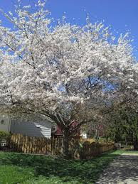 lu s comments flowering pear tree varieties