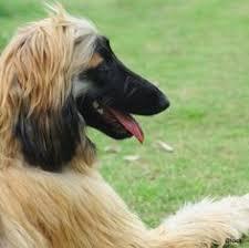 afghan hound lifespan 0015 by tsuno tokyo via flickr afghan hound pinterest