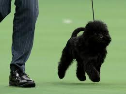 affenpinscher calgary gallery 2013 westminster kennel club dog show
