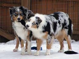 65 lb australian australian shepherd constipation in dogs can be deadly