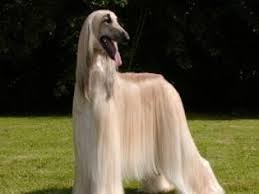 afghan hound and labrador retriever afghan hound puppies and dogs for sale in usa