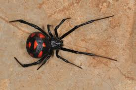 Black Widow Spiders Had A - black widow spider bite poisoning in cats petmd
