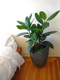 Easy House Plants Ficus Elastica U2014 You Gotta Love This Plant Mine Has Grown A Lot
