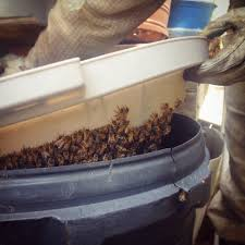 beekeeping like a how to lure a swarm of bees
