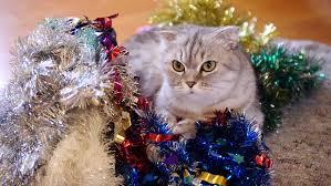 cat christmas scottish fold cat christmas edition stock footage 22863628