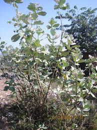 evaluation of indian milkweed calotropis gigantea seed oil as