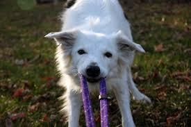 american eskimo dog small rocket dog of vermont