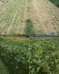 plant and manage cover crops for maximum weed suppression extension