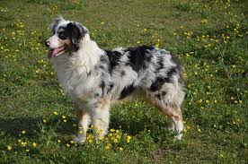 australian shepherd history australian shepherd dog breed a great herding dog ultimate guide