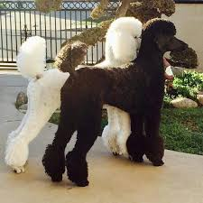 haircutsfordogs poodlemix white and black standard poodels poodle pinterest poodle