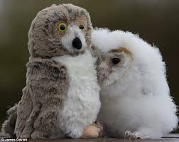 What Does A Barn Owl Look Like To Orbit The Orphaned Owl Beats Loneliness By