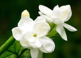 Fragrant Jasmine Plant - 6