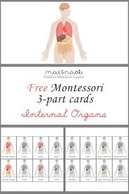 Pictures Of The Human Body Internal Organs Free Montessori 3 Part Cards Of Internal Organs Large Poster