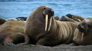 did you hear that i think it was a walrus npr