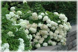 Flowering Shrubs That Like Full Sun - www thehoneytreenursery com